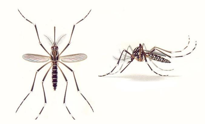 Комар рода Aedes Aegypti