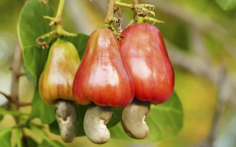 Фрукт ореха кешью (Mamuang Himmapang)