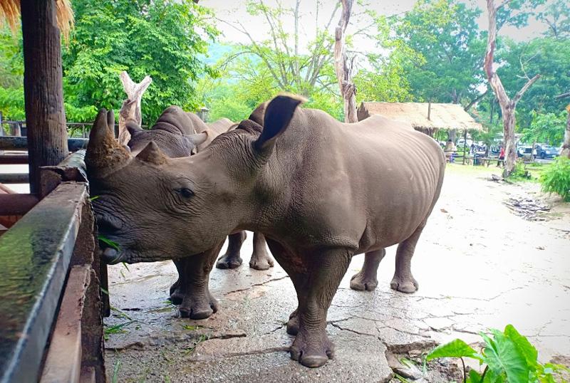 Носороги едят прямо с рук
