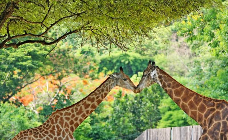 Жирафы в Кхао Кео зоопарке
