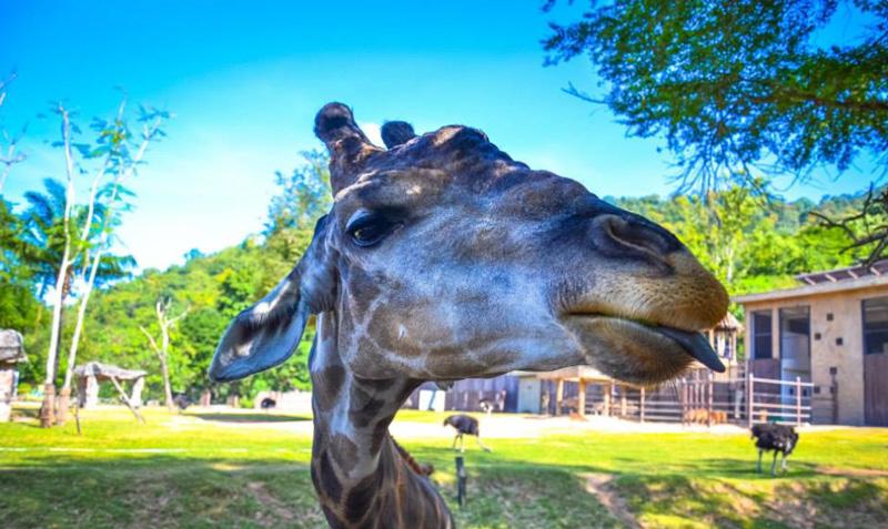 Жирафы едят с рук