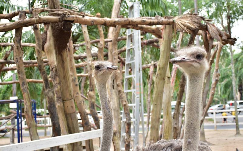 Страусы Кхао Кео зоопарк